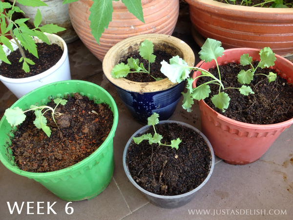 How to grow Kale in the Tropics